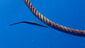 プーケットの魚ウケグチノホソミオナガノオキナハギ