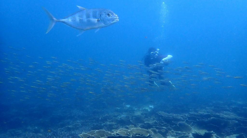 コガネシマアジとサンゴ礁