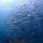 ピピ島ビダノックのギンガメアジの群れ
