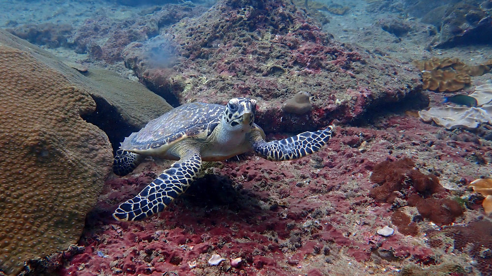 ピピ島のタイマイ2