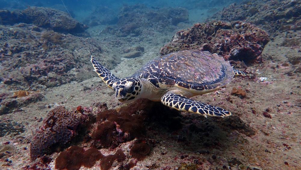 ピピ島のタイマイ1
