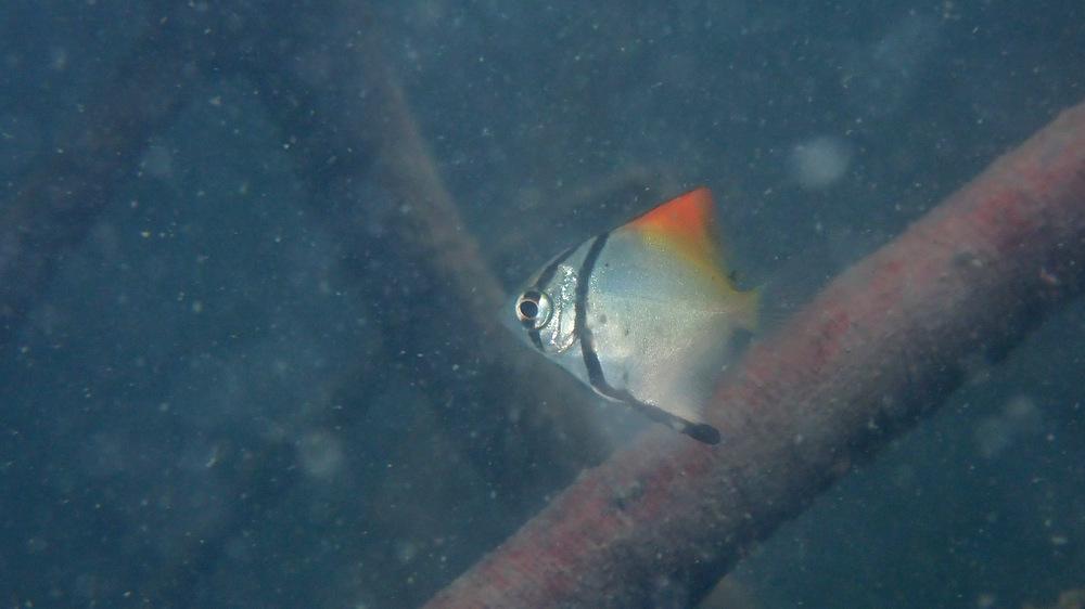 2020/12/17 ヒメツバメウオの幼魚