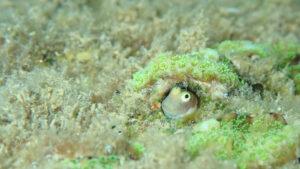 浅場で見られるシシマイギンポ1