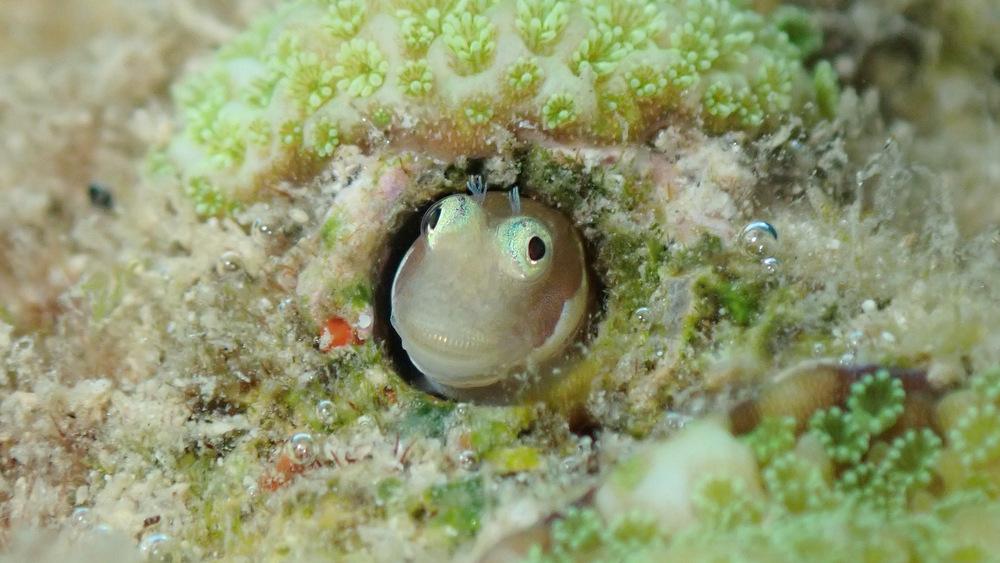 浅場で見られるシシマイギンポ2
