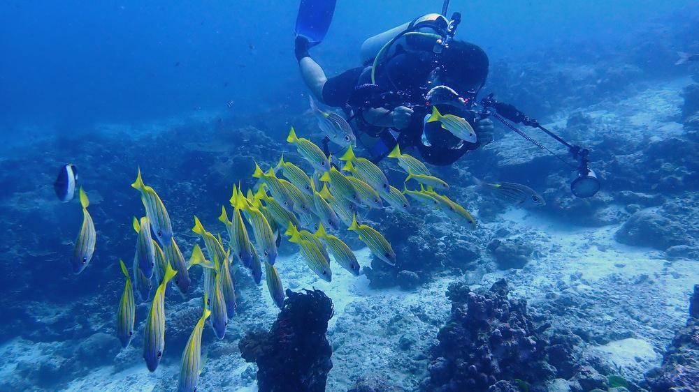 シミラン諸島スリーツリーズのヨスジフエダイ