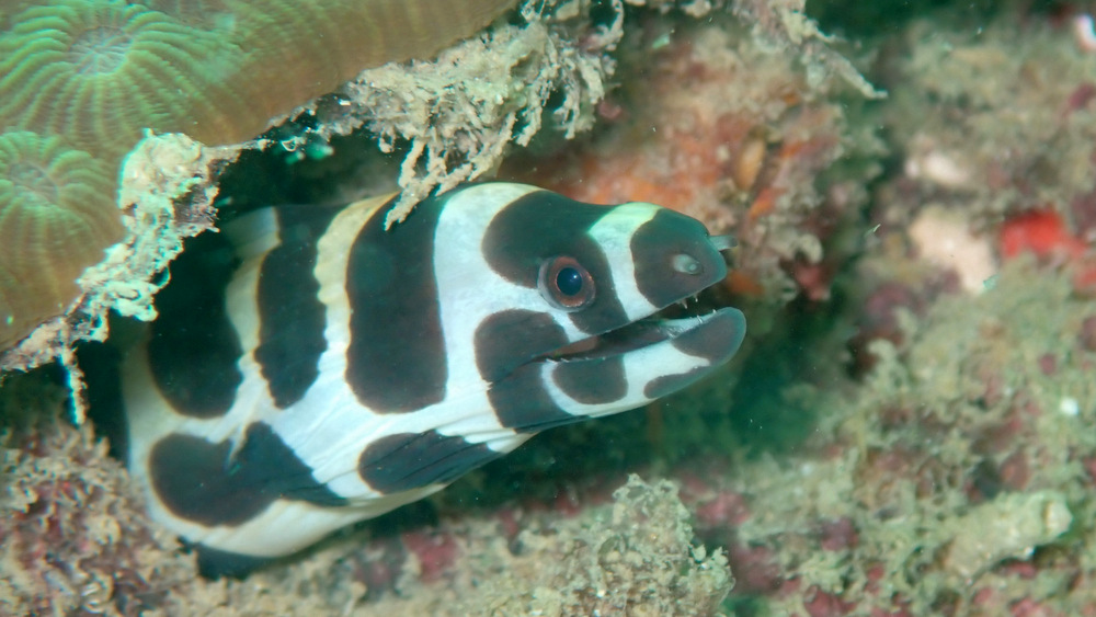 ヒョウモンウツボ(インディアンモレイ)の幼魚