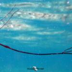 merlin beach ワカヨウジ幼魚