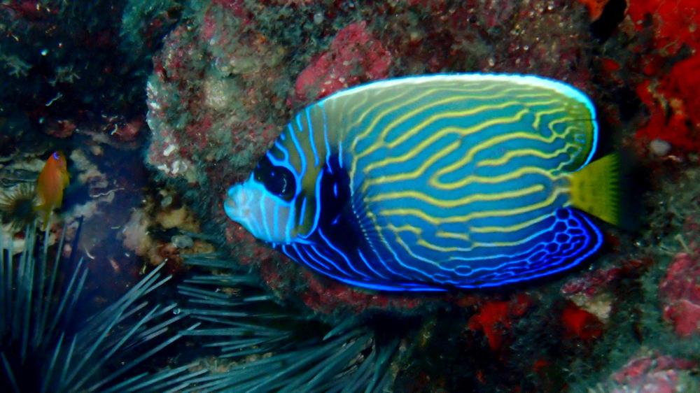 タテジマキンチャクダイの幼魚3