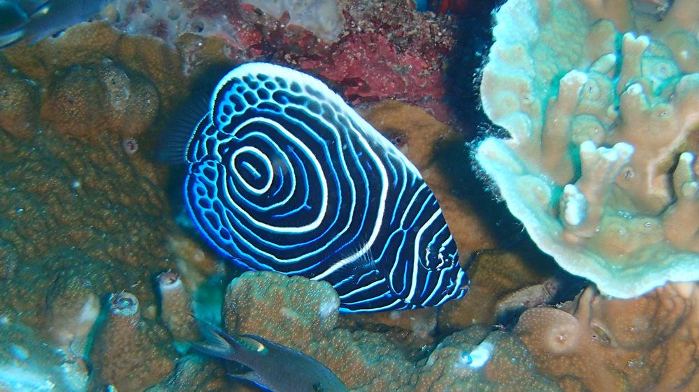 タテジマキンチャクダイの幼魚2