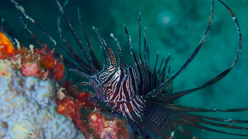 インディアンライオンフィッシュの幼魚