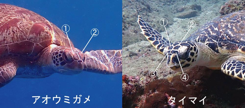 アオウミガメとタイマイの違い