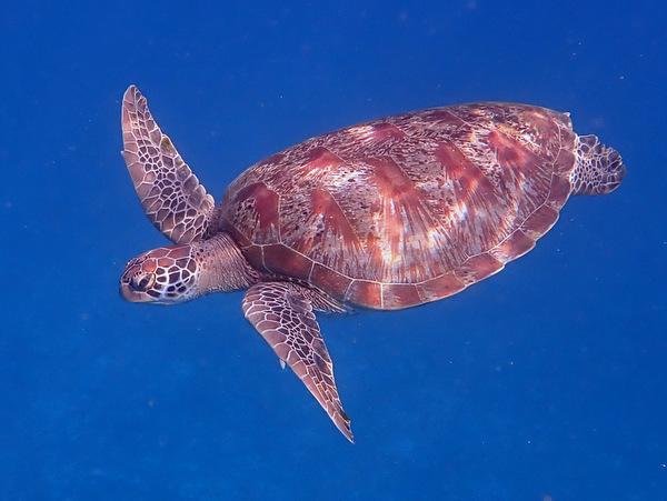 アオウミガメのサムネイル画像