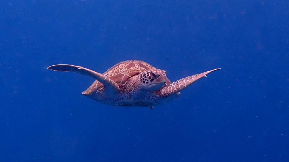 アオウミガメの遊泳