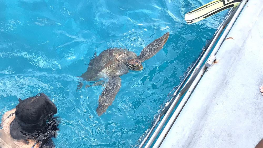 ダイビングボートに遊びに来るアオウミガメ