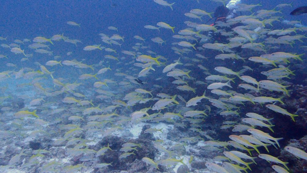 ラチャノイ島のアカヒメジ